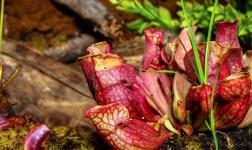 Carnivora: a comprehensive time-lapse film on carnivorous plants
